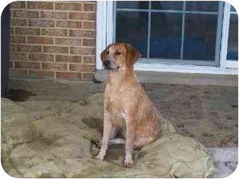 red tick coonhound English (Redtick) Coonhound/Labrador
