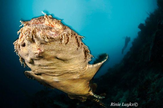 Wobbegong - aka Carpet shark !!!!  By: Rinie Luykx