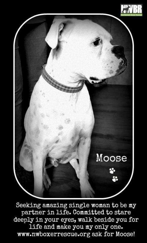 Moose Zeus Is An Adoptable Boxer Searching For A Forever Family