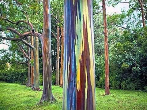 A Árvore de Mil Cores  - eucalipto deglupta