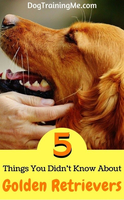 5 Things You Didn T Know About Golden Retrievers Golden
