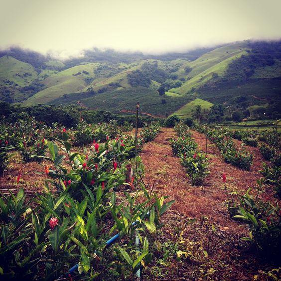 Plantação de Alpínias