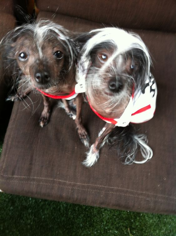 Chinese crested hairless dogs. Nuff said.