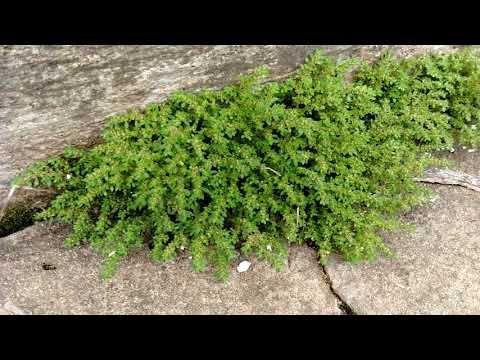 Planta Brilhantina Youtube Plantas Rasteiras Plantas