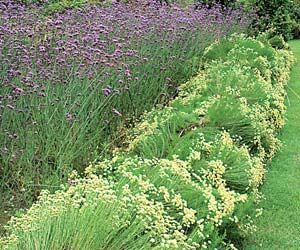 18 plantes stars pour massifs increvables ! - Fleurs résistantes à la sécheresse : santoline à feuilles de romarin