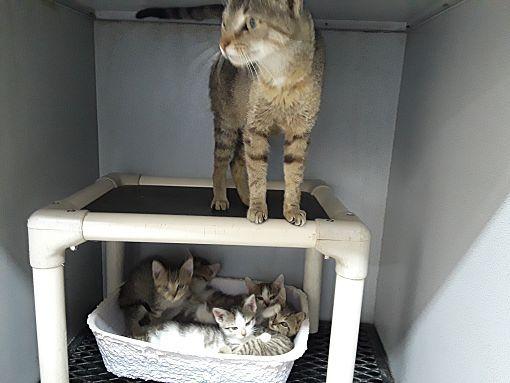 Urgent Kill Shelter Mount Sterling Ky Domestic Shorthair Meet Bella 5 Kittens A Cat For Adoption Pets Cat Adoption Mount Sterling