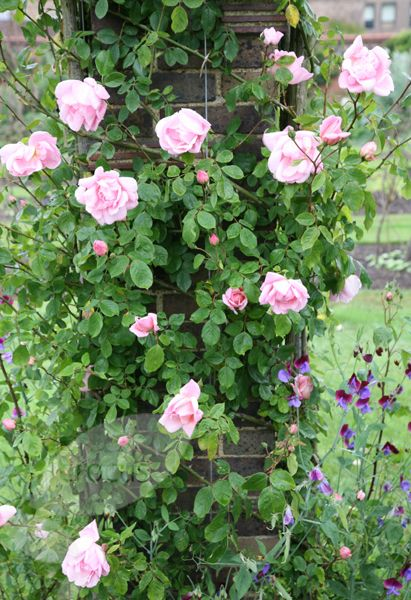 Rose Rosa 'New Dawn' - one of the most vigorous climbing roses, perfect for covering a pergola or a garden wall.