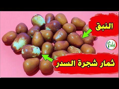 سوف تأكل فاكهة النبق كل يوم بعد مشاهدة هذا الفيديو ابدأ في تناول ثمار شجرة السدر وانظر ماذا سيحدث لك Youtube Easter Eggs Easter Eggs