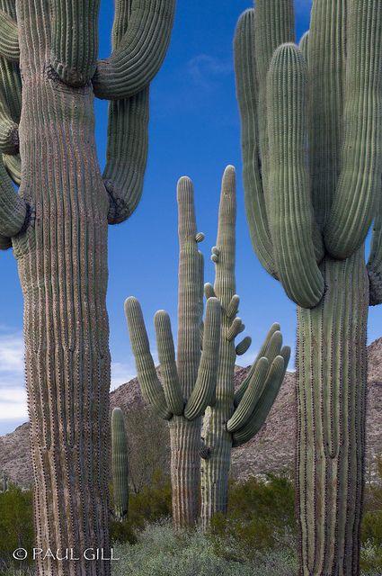 Saguaros.: