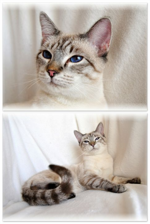 Siamese, Siamese cats and Lynx on Pinterest
