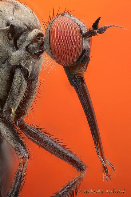 Dagger fly at 12:1- macrophotography by Nikola Rahmé