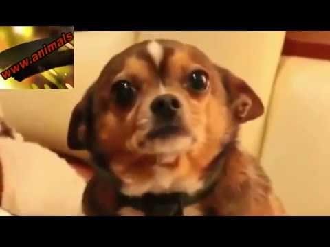 Perro Casi Llora Por Ser Reganado Animals Dogs Youtube