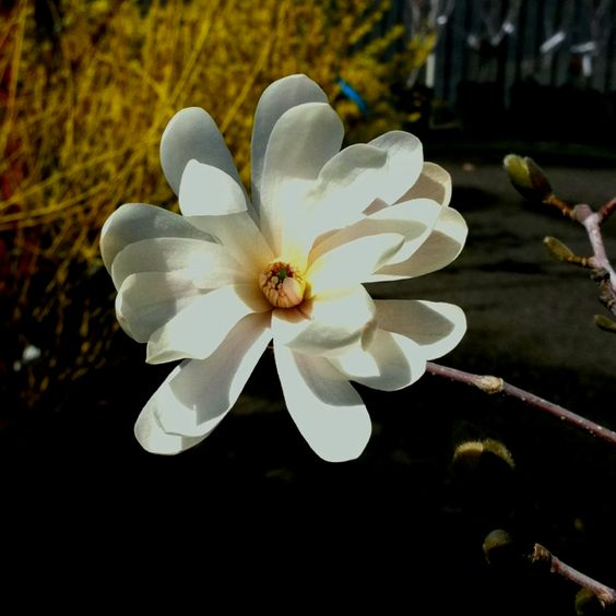 This is a star magnolia
