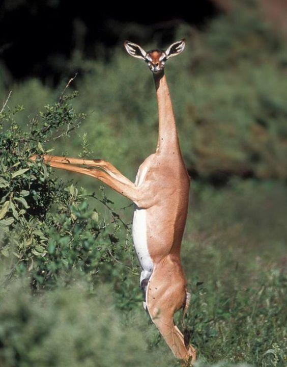 Risultati immagini per gazela girafa
