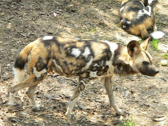 The African wild dog - population 3000-5000 [EN]. Also known as painted hunting…