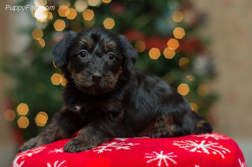 Scottie Poo Puppy Scottish Terrier Poodle Mix For Sale Terrier Poodle Mix Puppies Poodle Mix