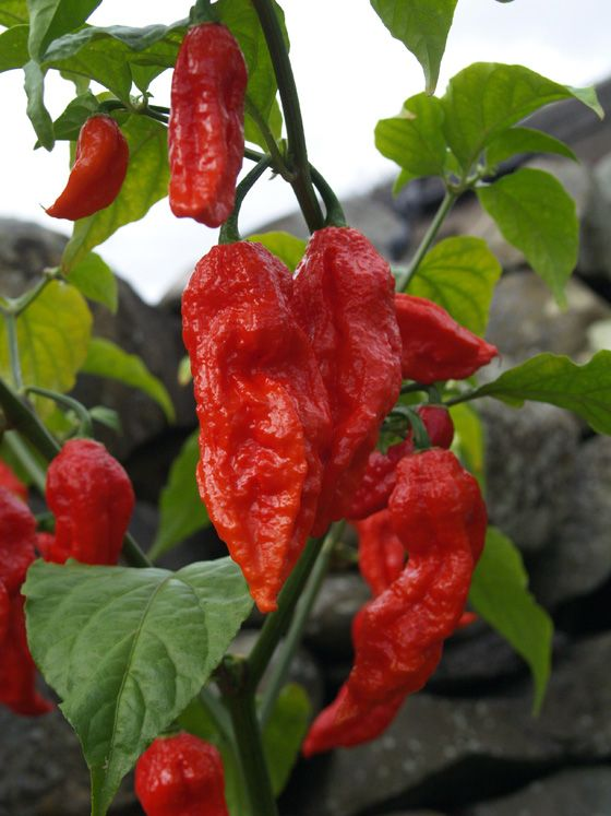 """Developed in northeastern India, the Bhut Jolokia has replaced the Habanero as the hottest chile in the world.  Commonly known as the """"Ghost"""" chile it's somtimes called the Naga King chile.  ( This one scares me.)"""