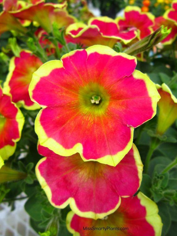 Petunia Boom Veiu Red N Yellow Beautiful Pink And Flowers This