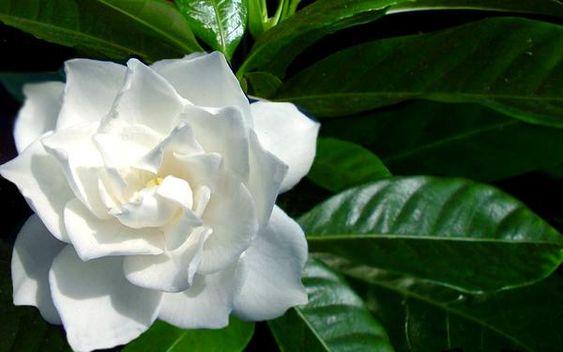 gardenia   Gardenia - Rubiaceae - Come curare e coltivare la vostra Gardenia