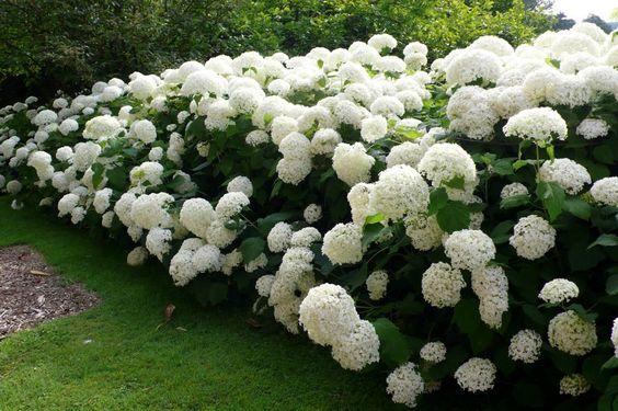 fehér hortenzia sövény Hortensia Strong Annabel - grote bloemen, steviger dan normale Annabel