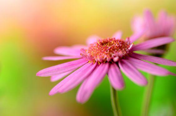 Marguerite 'Cutie mise'/瑪格麗特/マーガレット (キューティーマイス) | Flickr - Photo Sharing!
