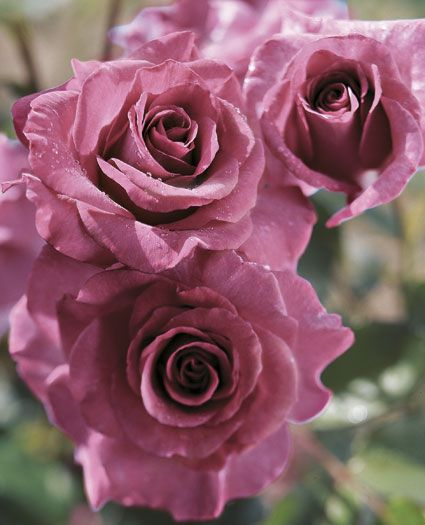 Melody Parfumee Hybrid Tea Rose - Deep plum buds open up to a rich lavender bloom with a heavenly old rose fragrance. Will make a spectacular display in any garden or landscape.