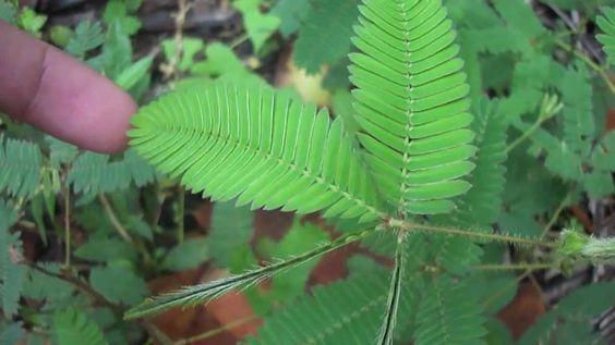 Mimosa pudica.   A dormideira......Esta planta não é carnívora. Quando tocada sua folhas se fecham imediatamente. As folhas se fecham também quando há muito sol, quando anoitece e quando há muito vento.. Quando o toque é muito forte as folhas cai, se erguendo novamente depois de um tempo.