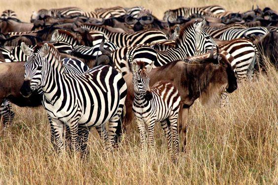 Masai Mara desert during the great migration, october (Kenya)