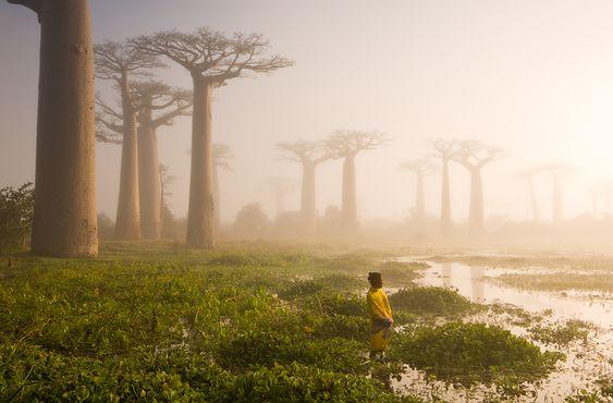 Baobab trees, Menabe, Madagascar (Photo by Marsel van Oosten