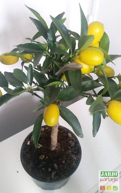 Le Rempotage Du Citronnier Comment Faire Tous Les Conseils Pour Le Reussir Jardinage En Pots Jardinage Potager Et Tout Pour Le Jardin