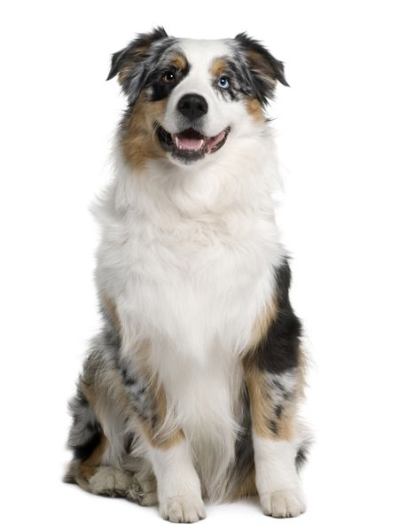 two-toned austrailian shepherd :) my future dog right here!!! can't wait till I live somewhere where my pup can go outside and play :):):)