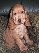 Donnas Cockers spaniel puppy