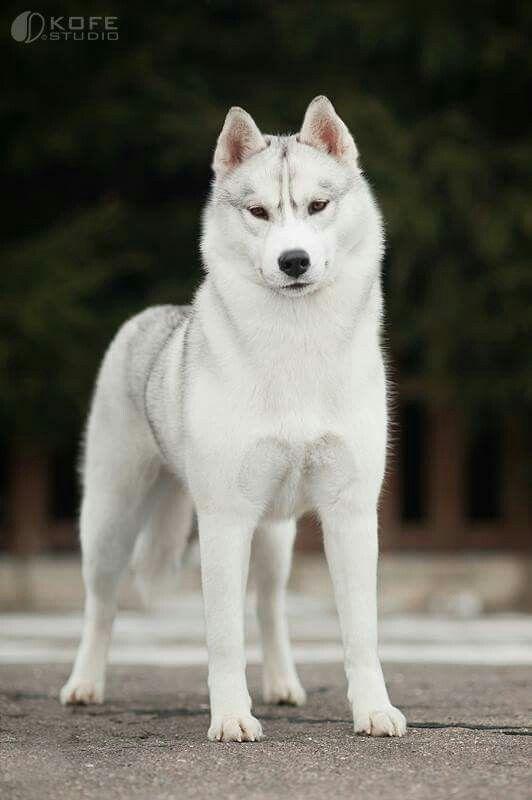 Silver White Husky Siberian Husky Dog Siberian Husky