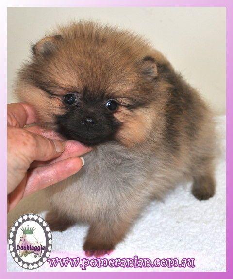 Orange Pomeranian Puppy Pomeranianpuppy Pomeranian Pomeranian