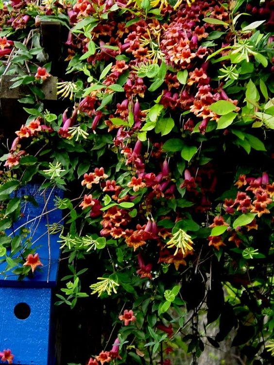 Mixing vines on lattice - Red Crossvine and Yellow Honeysuckle