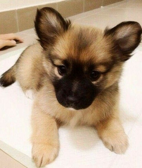 What A Very Cute Baby Germen Sheperd Cute Fluffy Puppies