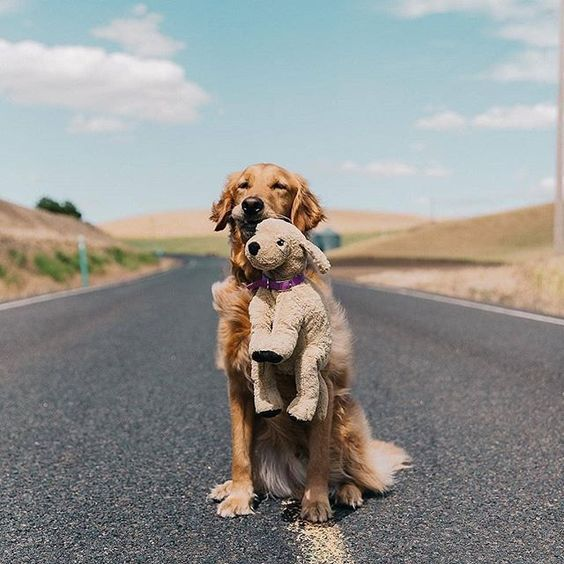 Get Healthy And Ethically Bred Golden Retriever Puppies For Sale Golden Retriever Dogs For Adoption I With Images Dogs Golden Retriever Retriever Puppy Funny Dog Pictures