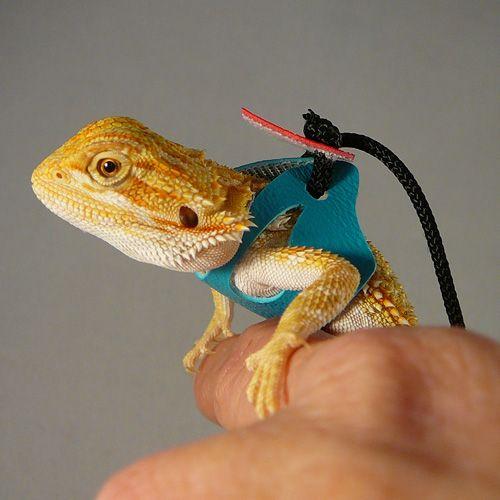 bearded dragon harness looks kinda simple | репты | Pinterest