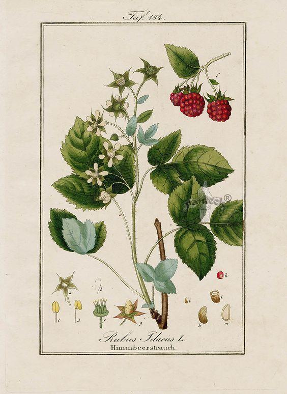 "Antique prints of ""Raspberry, Rubus idaeus"" from Eduard Winkler Medicinal Prints 1832"