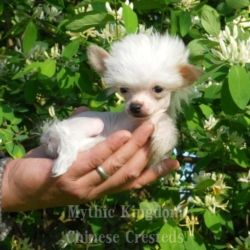 Mythic Kingdom S Micro Chinese Cresteds Chinese Crested Chinese