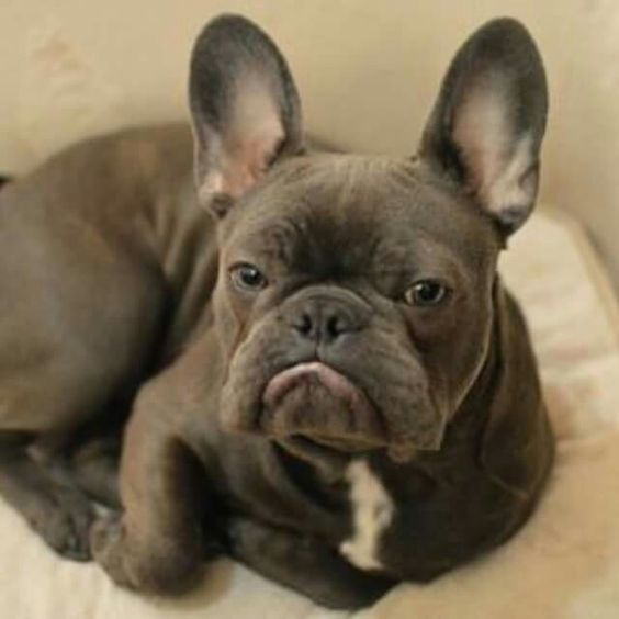 Frank, the French Bulldog❤❤❤❤❤