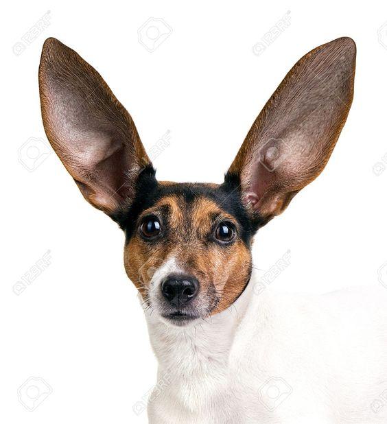 Dr Karen Becker home made ear cleaner - nettoyant pour oreilles maison du Dr Karen Becker