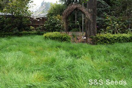 WebNative Bentgrass