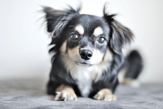 Shutaro, the Cute Chihuahua Dog