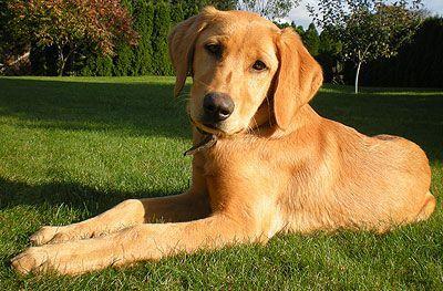 Sensational Black Labrador Mix In 2020 Golden Retriever Labrador Golden Retriever Lab Retriever
