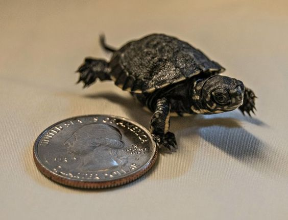 It?s been a busy hatching season for Western Pond Turtles at the ...