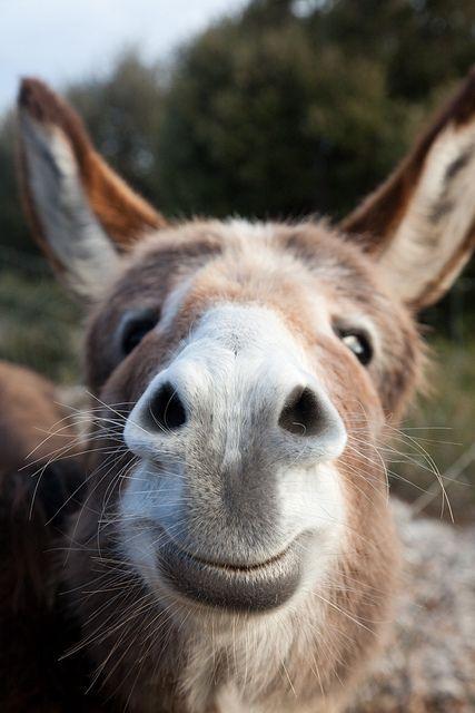 Donkey's nose up close!: