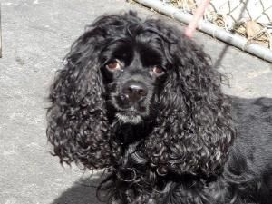 ZAZU is an adoptable Cocker Spaniel Dog in New York, NY.  ...