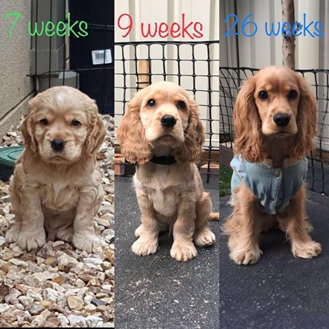 My Progress Woof Woof My Mummy And Daddy Tell Me That I Am Growing Too Fast Enjoy Every Mome Cocker Dog Cocker Spaniel Dog Spaniel Puppies