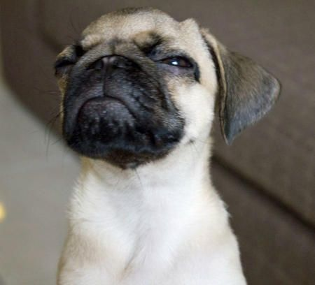 Skeptical Pug is skeptical